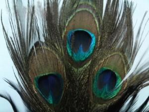 Những bí mật phong thủy về lông chim công